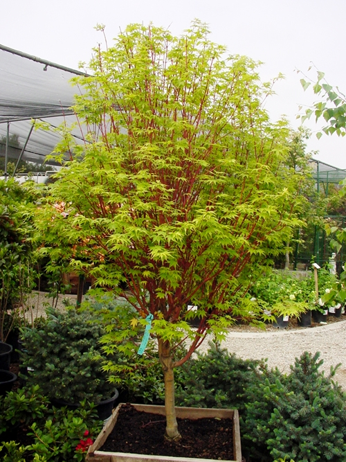 Other Than Those Listed, We Also Carry Many Other Varieties Of Japanese  Maples. Availability Varies By Season. Contact Us If You Are Interested In  Any ...